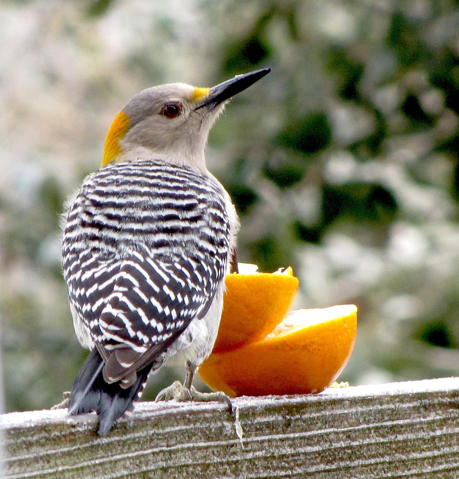 Arroyo Colorado Riverblog: Backyard Birds: This Week's