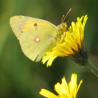 Clouded yellow butterfly on Autumn hawkbit