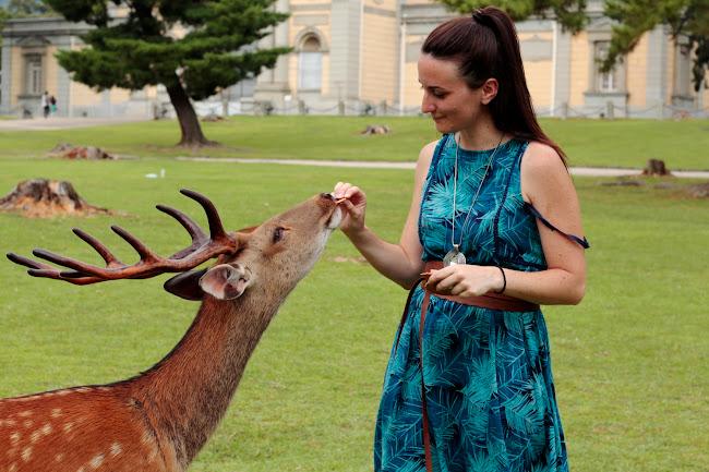 Dando de comer a un ciervo en Nara, Japón