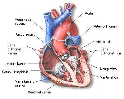 Cara Kerja Jantung Dalam Tubuh dan Cara Menjaga Jantung Tetap Sehat