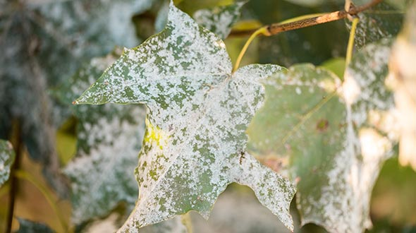 Powdery mildew growing on tree leaves