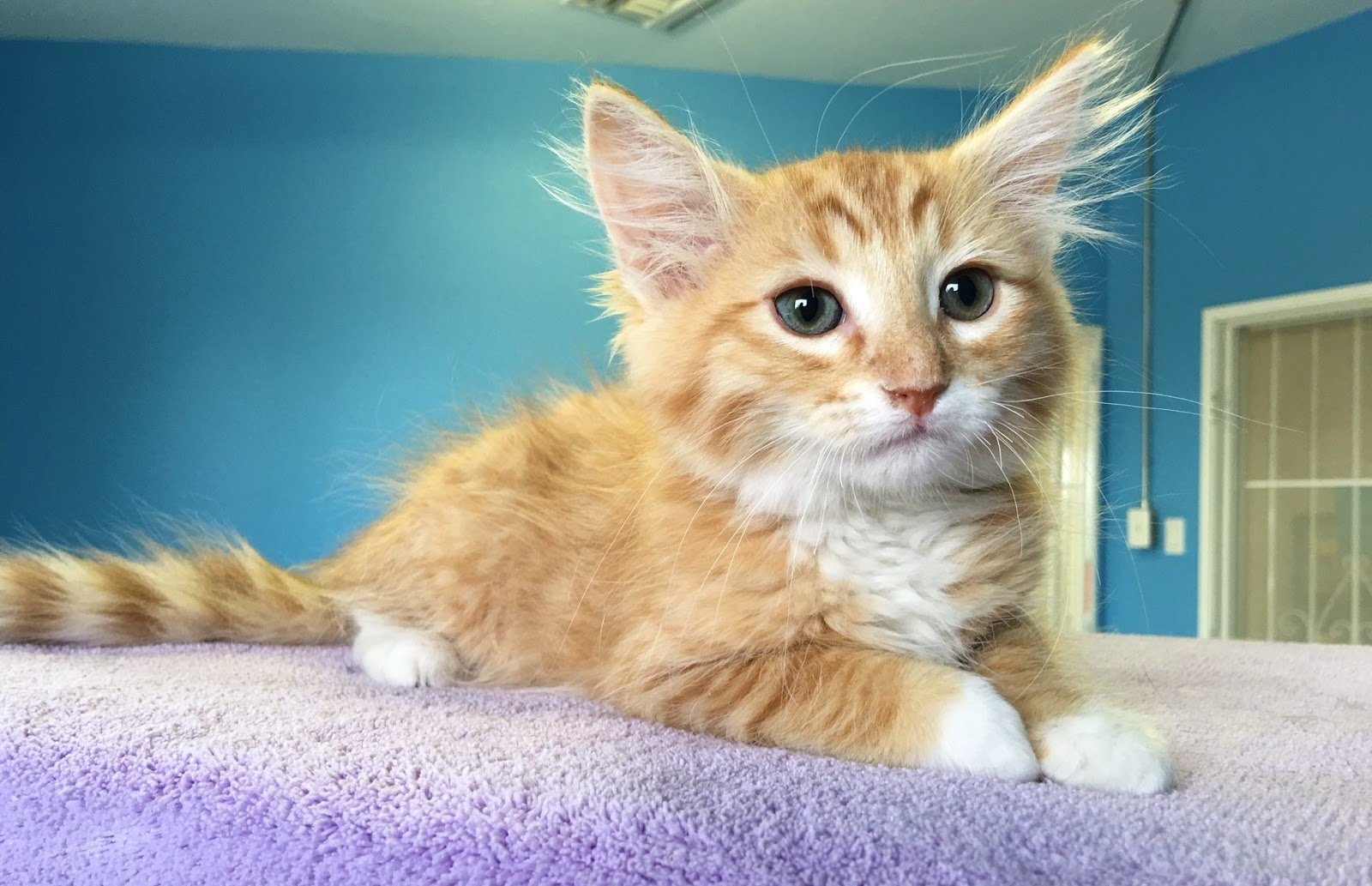 Nevada SPCA Animal Rescue Cubby and 25 more rescued kittens ready