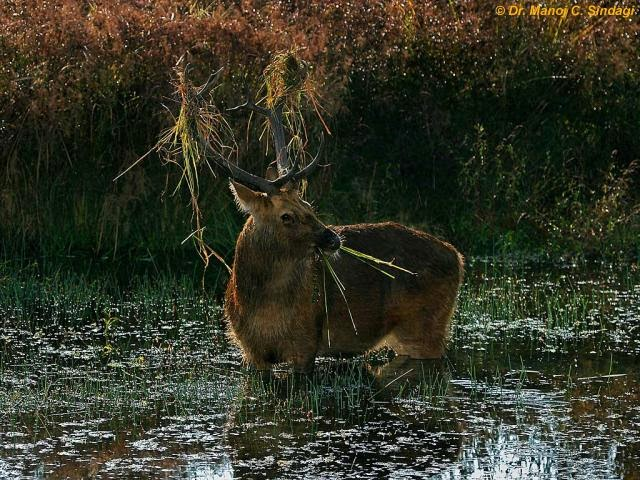 Holi Wallpaper With Quotes In Hindi Picture Collection Swamp Deer Pics