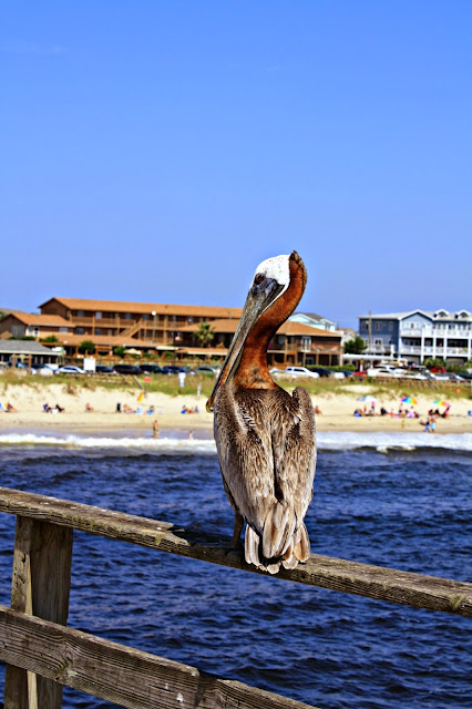 Visiting with a pelican on the pier at Kure Beach in Wilmington, North Carolina