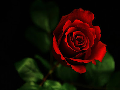 Rose wallpapers,(Rose photos,Rose pics,Rose pictures,Rose images,Rose day wallpapers,Flawers HD wallpaper)