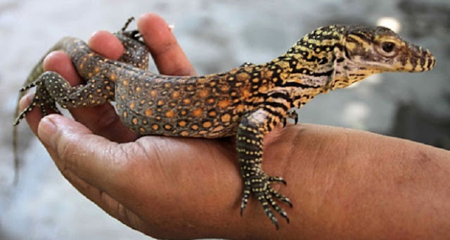 Enam bayi komodo akan dikembalikan ke habitatnya di Pulau Flores