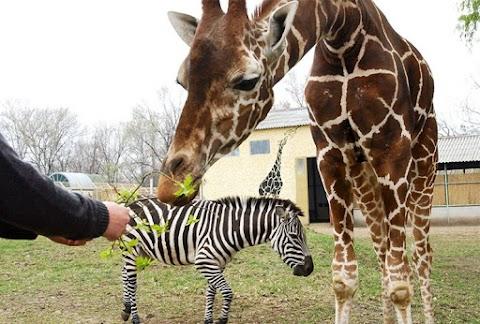 Modern városok - Elkészült a győri állatkert új bejárata, valamint a zsiráf- és az orrszarvúház