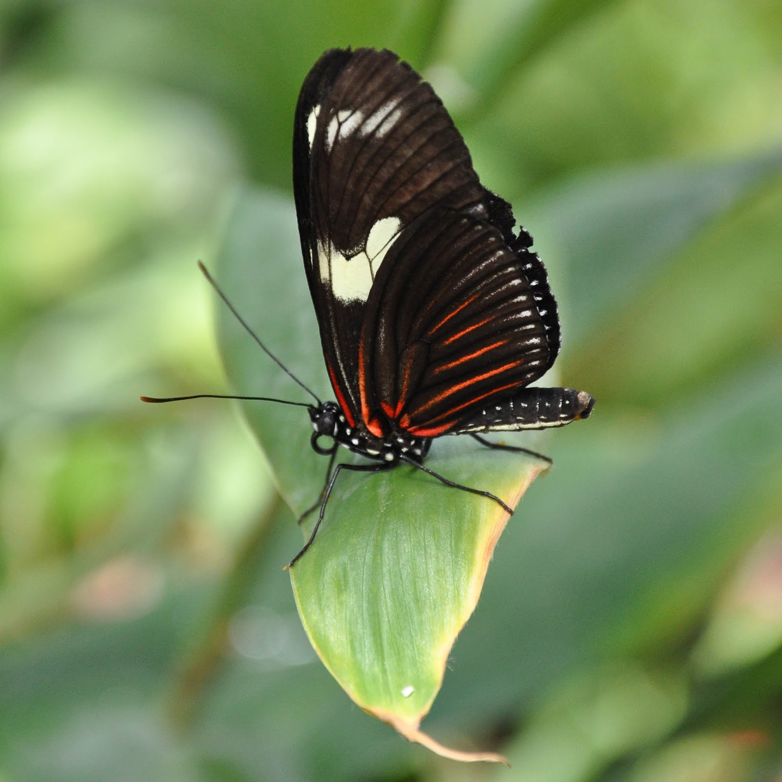 Black and red butterfly, The Butterfly World Project, St. Albans, Herts, UK