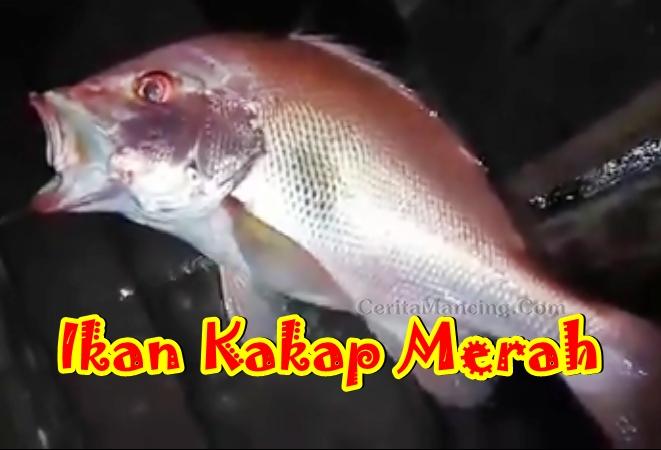 Strike Ikan Kakap Merah Pak Tua Mancing Malam