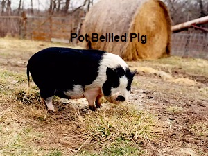Care and Health Insurance for your Pet Pot Bellied Pig