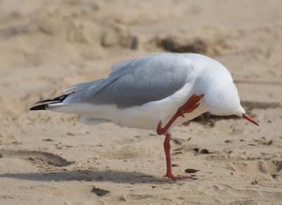 Silver Gull (Chroicocephalus novaehollandiae