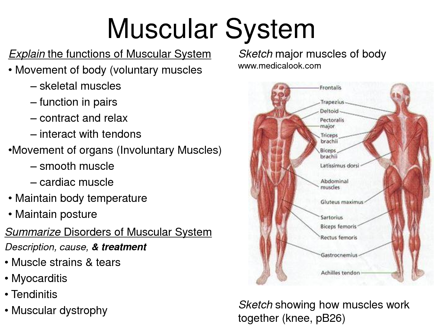 The Most Powerful Ways Muscle Structure And Function