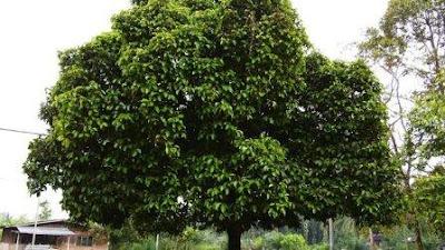 pohon maggis