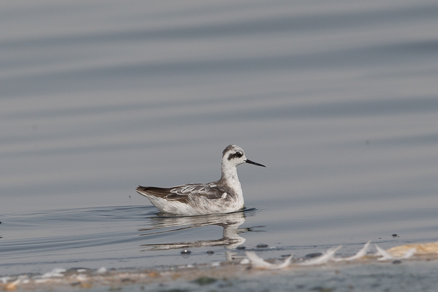 Two winter plumaged Red-necked Phalaropes – Jubail