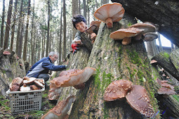 原木シイタケ 肉厚で味が濃い