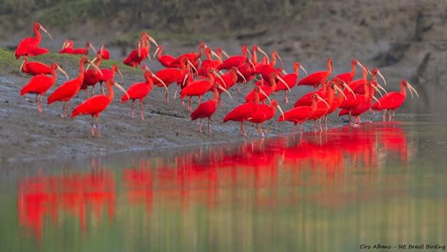 Guará vermelho - Conhecido também como guará-verme, guará-rubro e guará-piranga (em tupi, ave vermelha).