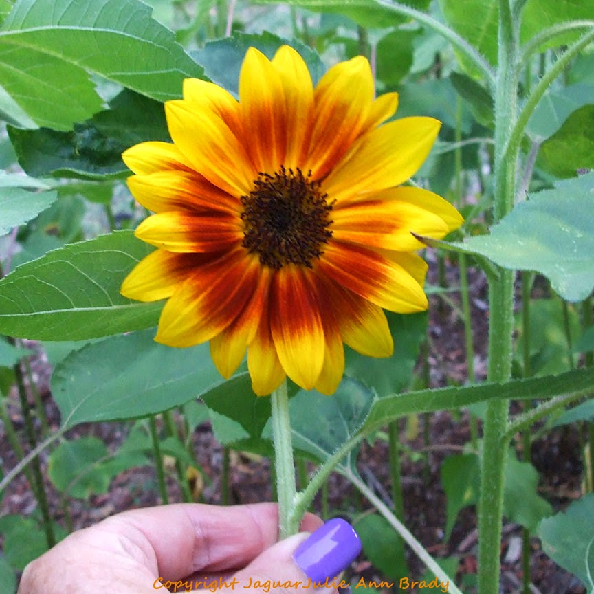 Pretty Yellow-Red-Orange Sunflower Blossom