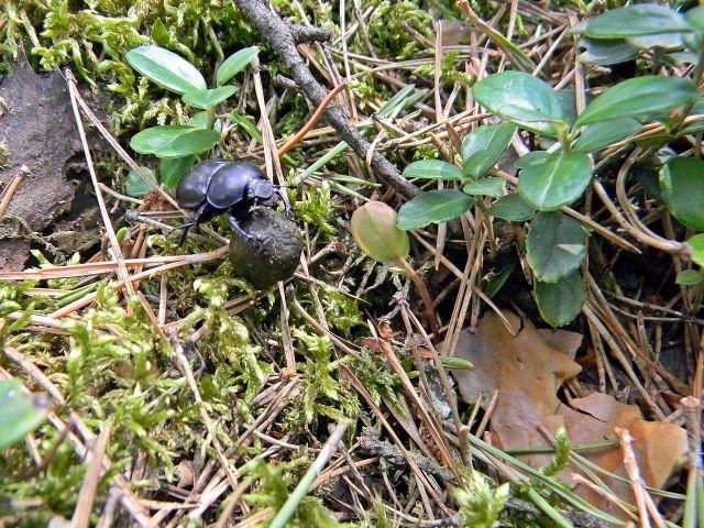 las, koprofag, kulka z odchodów, owad
