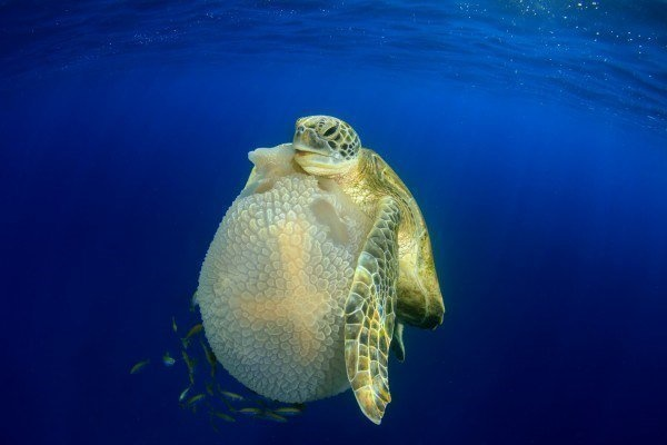 The Best Underwater Photos EVER Taken Show Life From A Different Angle. - Behaviour 'Turtle eating Jellyfish' by Richard Carey from Thailand