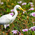 Intermidiate Egret with Fish Kill