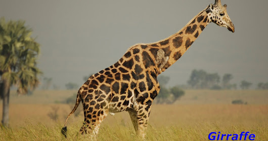 10 Facts About The Giraffe