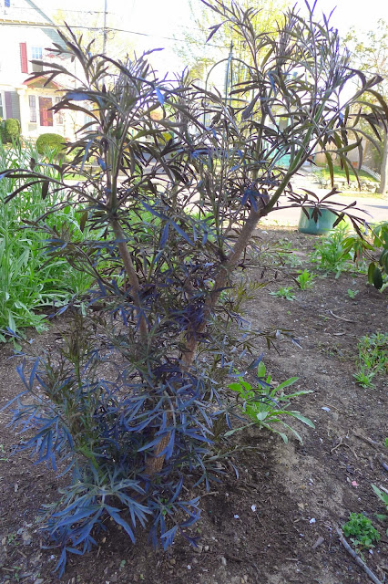Less Noise More Green Pruning Black Lace Elderberry Bushes