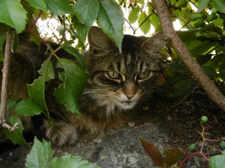 Forcalquier, chat d'aout, malooka