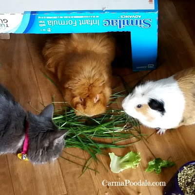 #Cinnamon, #Cookie and #MollyMew eating grass
