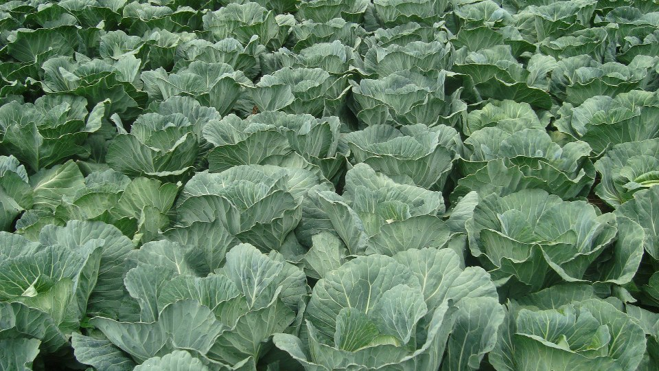 Growing Cabbages In Kenya For Wealth And Employment Creation Brassica Oleraceae