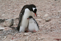 Gentoo Mother and Baby