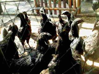 Jual Ayam Cemani Bogor