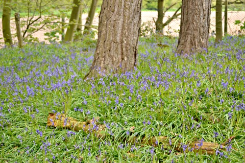 Bluebells in April