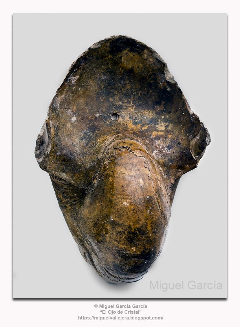 Fósil de Nautilus.