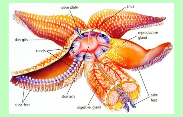 Struktur Bintang Laut (Asterias Forbesi)
