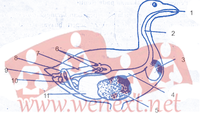 Sistem Pencernaan Makanan pada Aves (Burung Merpati)
