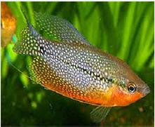 Ikan Hias  Lace Gourami mutiara