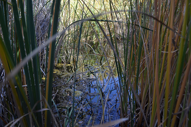 pool surrounded by grasses... reeds?