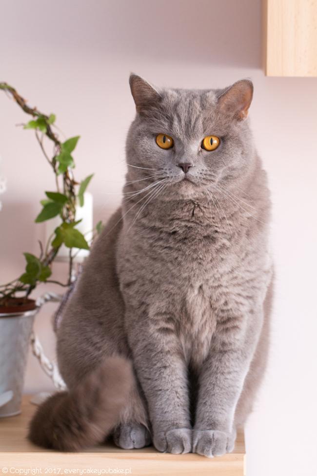 francuskie ciastka piaskowe koty na dzień kota