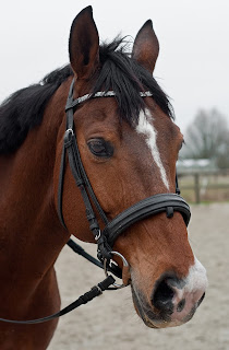 A bay horse with strip and snip white markings wearing a bridle while standing in an outdoor school