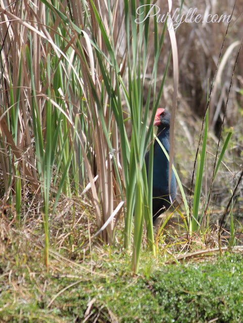 swamphen keeping a close eye on the photographer