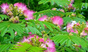 Ciri khusus tumbuhan putri malu