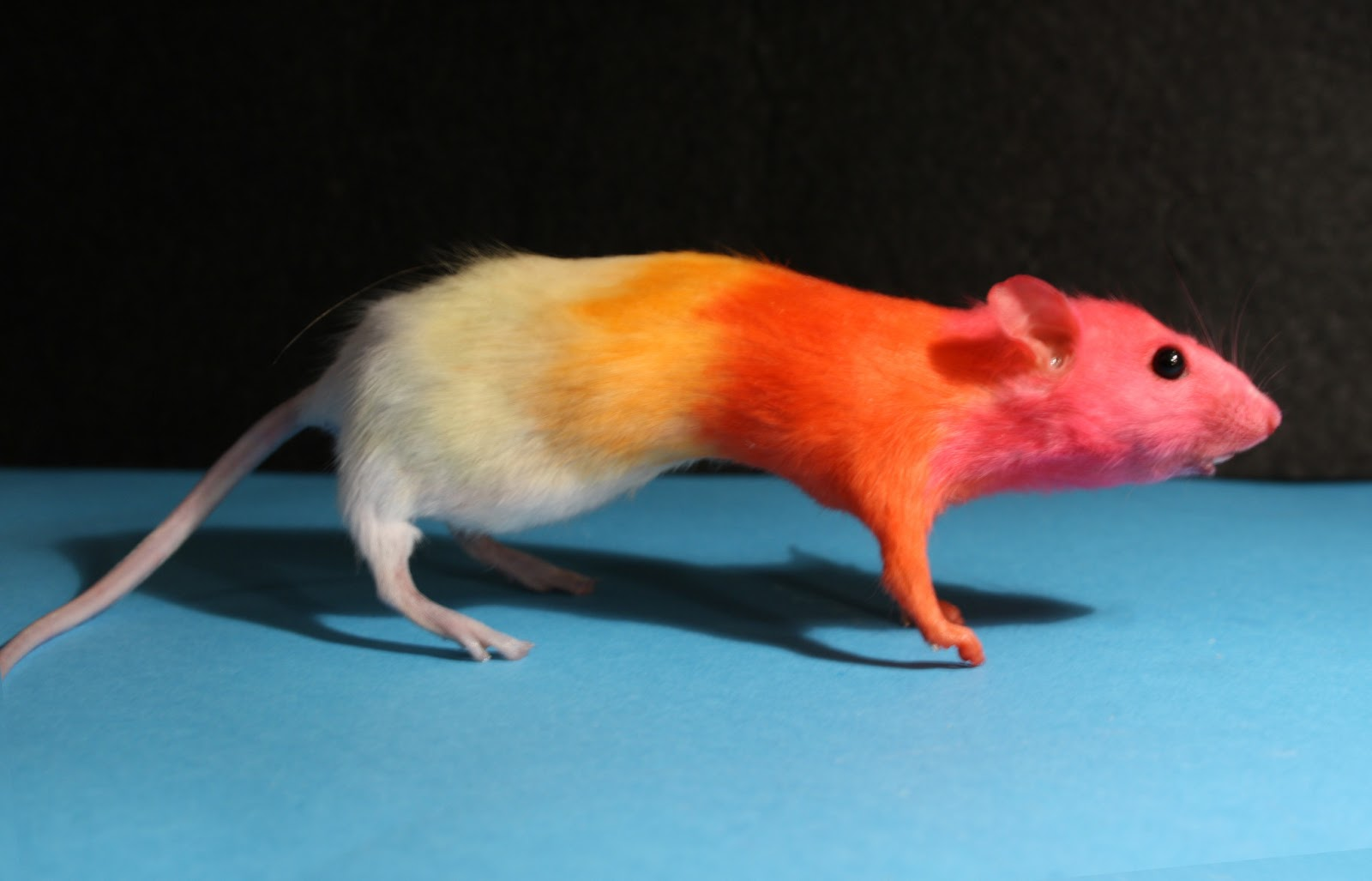 re-animation: Mouse Rigor Mortis