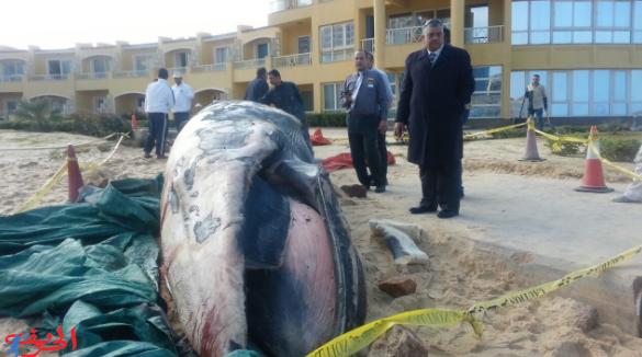 حوت طوله 18 مترا وجد ميتا على شاطئ الإسكندرية