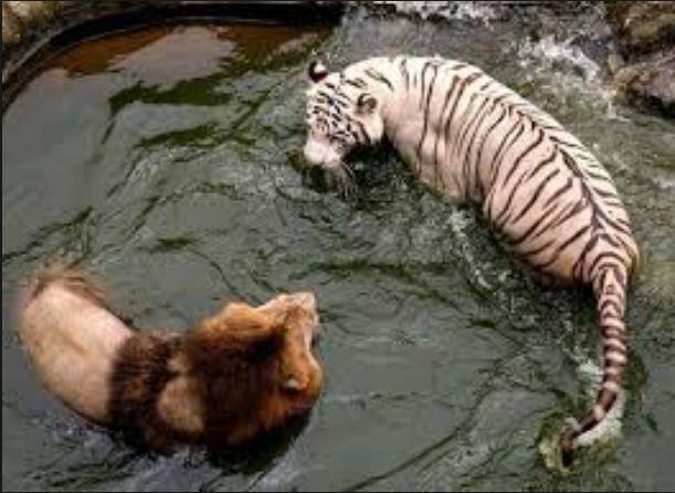 Harimau vs Singa  Siapa Yang Bakal Menang? - UNIKLOPEDIA
