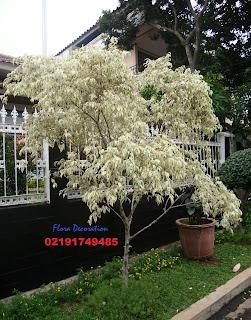 Harga jual pohon beringin putih murah
