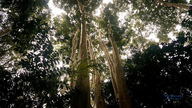Cây Bằng Lăng 6 ngọn trong rừng Nam Cát Tiên