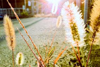 Sunlight through seed heads