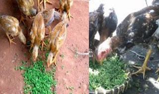 Ayam Makan Azolla