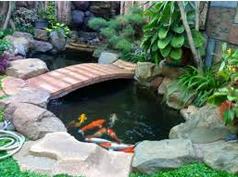 Cara Memelihara  Ikan Koi di kolam