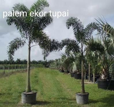 Jasa Tukang Taman Surabaya Tanaman Hias Lidah Mertua